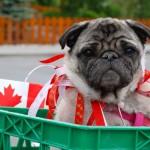 Canada Day Pug.